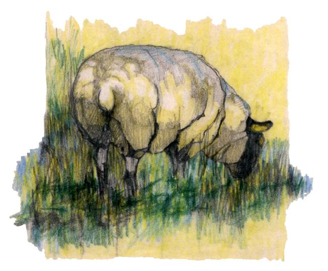 Sheep Grazing width=