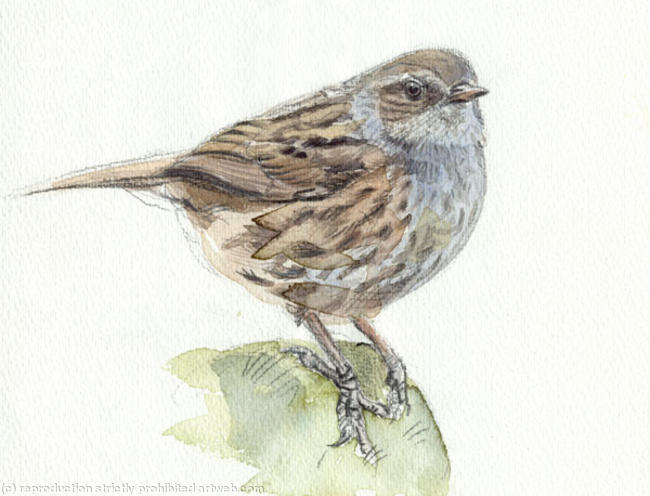 Dunnock Signed giclee print. Supplied mounted and cellophane wrapped. 22x17cm