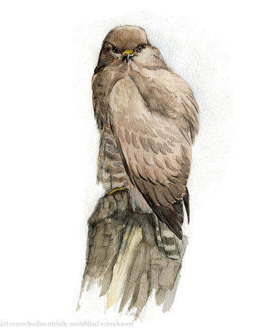 Common Buzzard Signed giclee print. Supplied mounted and cellophane wrapped. 17x22cm