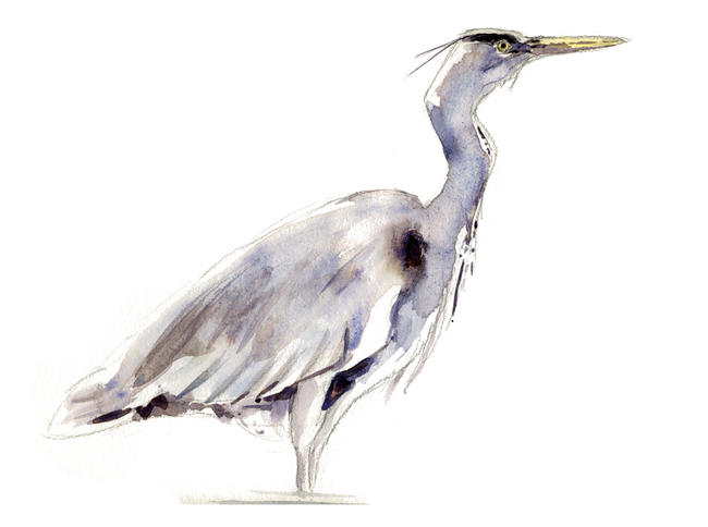 Heron Study Watercolour itemprop=