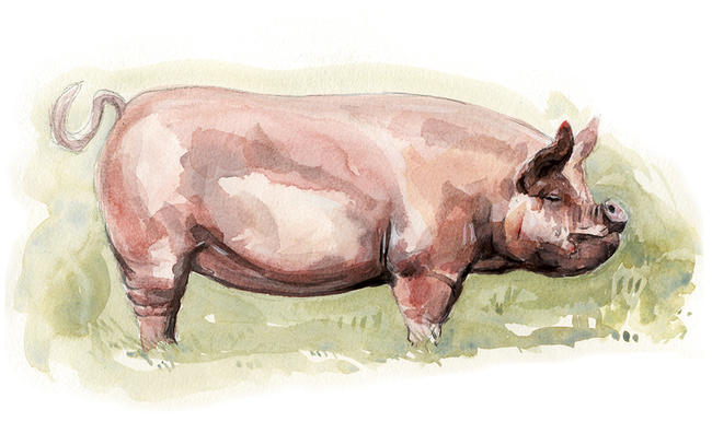 Middle White Pig Signed giclee print. Supplied mounted and cellophane wrapped. width=