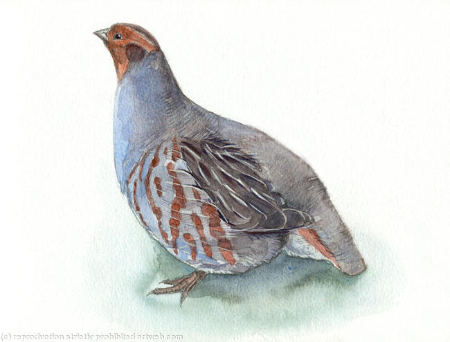 Grey Partridge Signed giclee print. Supplied mounted and cellophane wrapped. 22x17cm