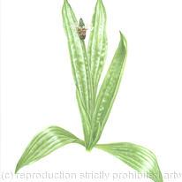 hidden Ribwort Plantain