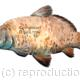 Carp common watercolour, This image is on a notelet or greeting card but it can be used on a fishing record card which we can design for you.
