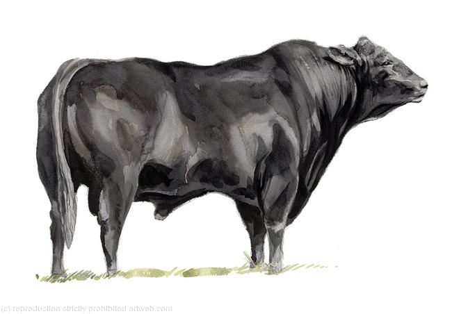 Aberdeen Angus Bull Signed giclee print. Supplied mounted and cellophane wrapped. 22x17cm