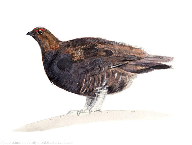 Red Grouse Signed giclee print. Supplied mounted and cellophane wrapped. 22x17cm