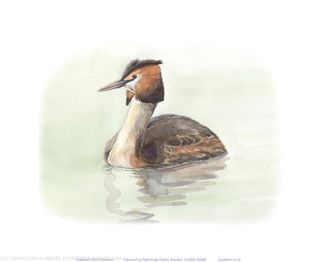 Great Crested Grebe Signed giclee print. Supplied mounted and cellopha