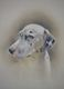 Bailey the Dalmatian 3  FOR SALE