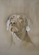 Storm the Weimaraner 2  SOLD  Commissioned